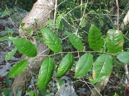 amansaguapo