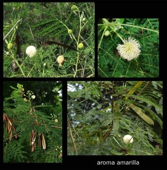 Aroma Blanca Leucaena_glauca1