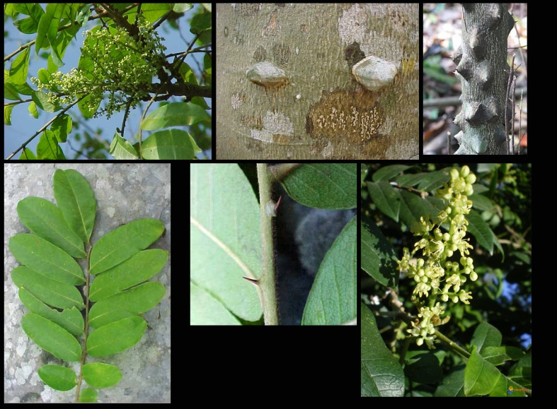 AYUA Zanthoxylum martinicense