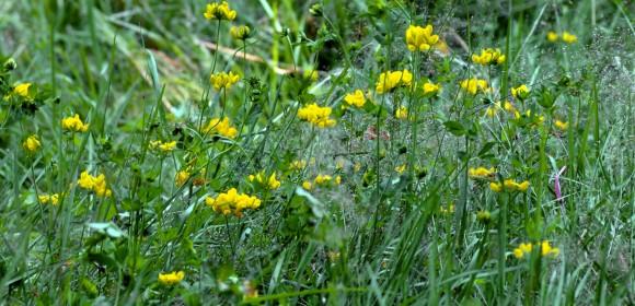 Lotus_pedunculatus_-_many_plants_aka.jpg&h=280&w=580
